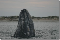 Best Gray Whale Shots 009