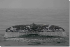 Best Gray Whale Shots 011