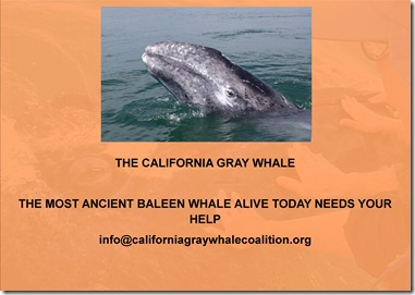 The california gray whale